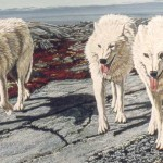 Arctic Wolves - Sold