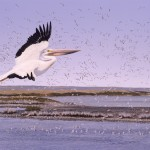 Gull Crossing - White Pelican